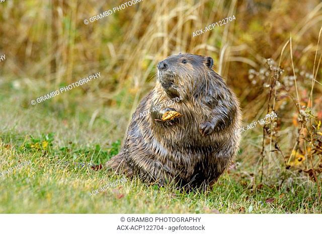 Large beaver, Castor canadensis, in autumnm Elk Island National Park, Alberta, Canada