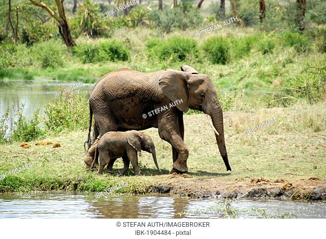 Large and small African elephant (Loxodonta africana), female adult with young at waterhole in Seronera, Serengeti National Park, Tanzania, East Africa, Africa