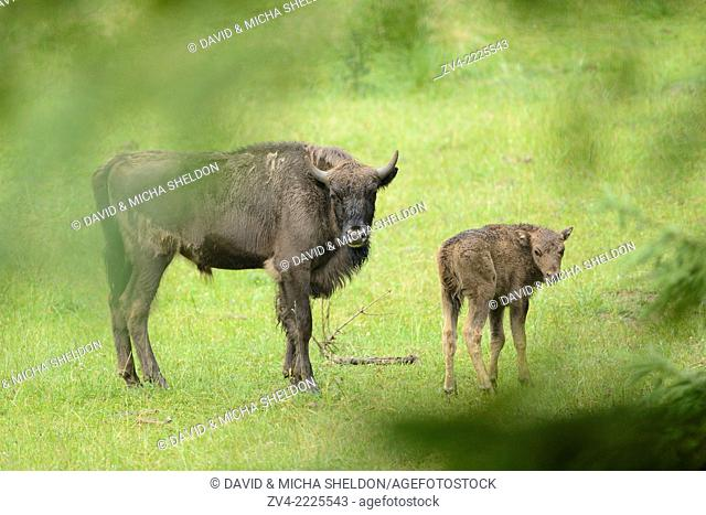 European bison (Bison bonasus) on a meadow in early summer