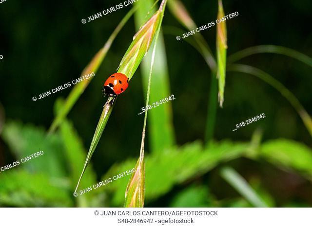 Los coccinélidos son una familia de insectos coleópteros de la superfamilia Cucujoidea. Reciben diferentes nombres vulgares según el lugar