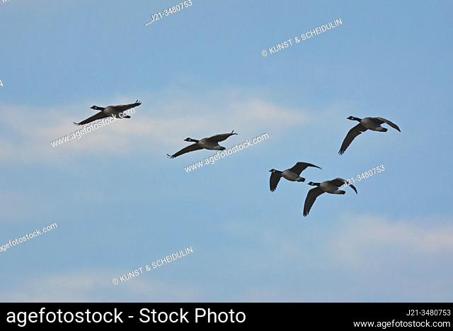 A flock of Canada geese (Branta canadensis) is flying in V-formation through the blue sky. Västernorrland, Sweden, Europe
