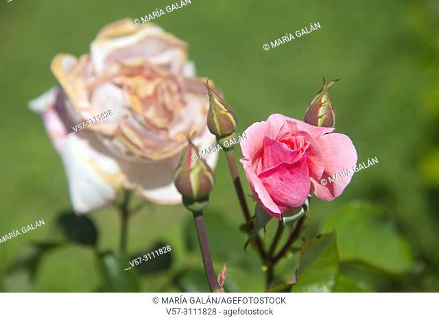 Pink rose bud and withered rose. Close view