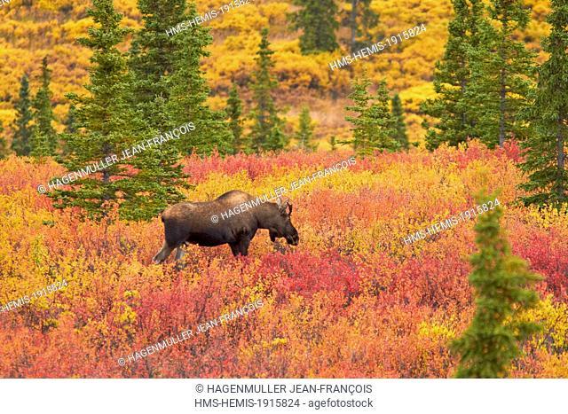 United States, Alaska, Denali National Park, Mount McKinley, moose (Alces alces) in Denali National Park