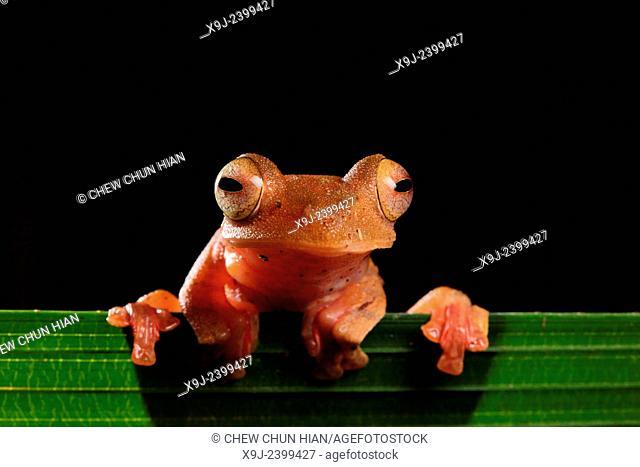 Frog of borneo, Harlequin Tree Frog, Phacophorus pardalis, national park, sarawak