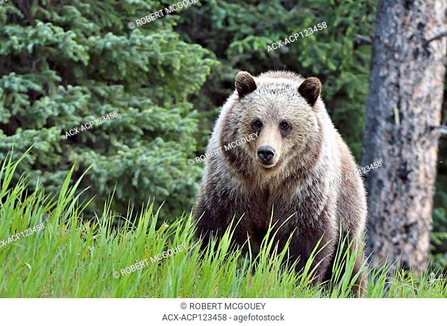 A front view of a grizzly bear, Ursus arctos; standing in the green grass in his home range in Alberta Canada