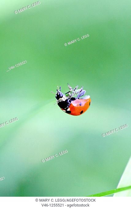 Seven-spotted ladybird Beetle, coccinella septempunctata hanging on an invisible thread  The beetle is clinging to a very fine thread that is invisble to the...