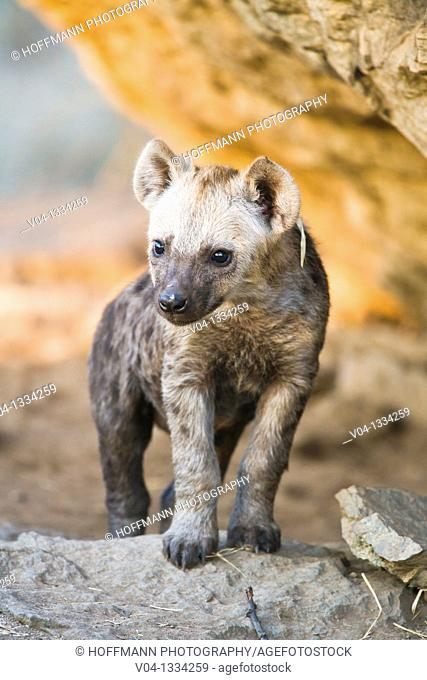 A spotted hyena cub (Crocuta crocuta) at its den, South Africa