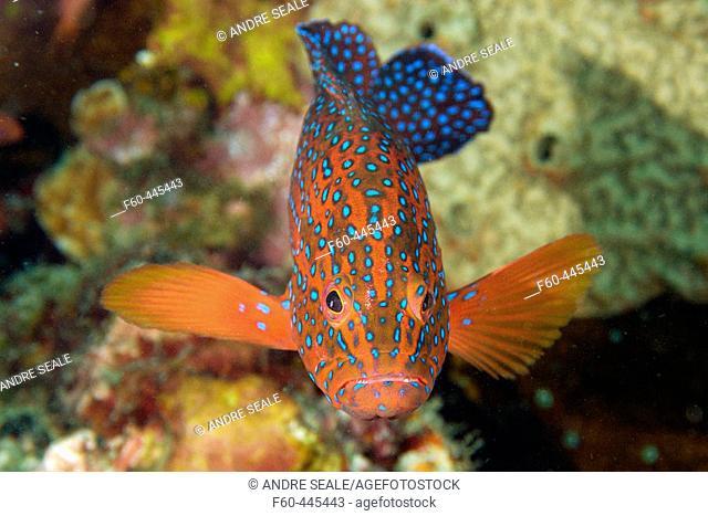 Coral grouper, Cephalopholis miniata, Sabang wreck, Puerto Galera, Mindoro, Philippines