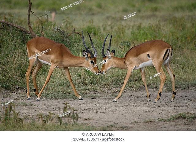Impalas males Kenya Aepyceros melampus