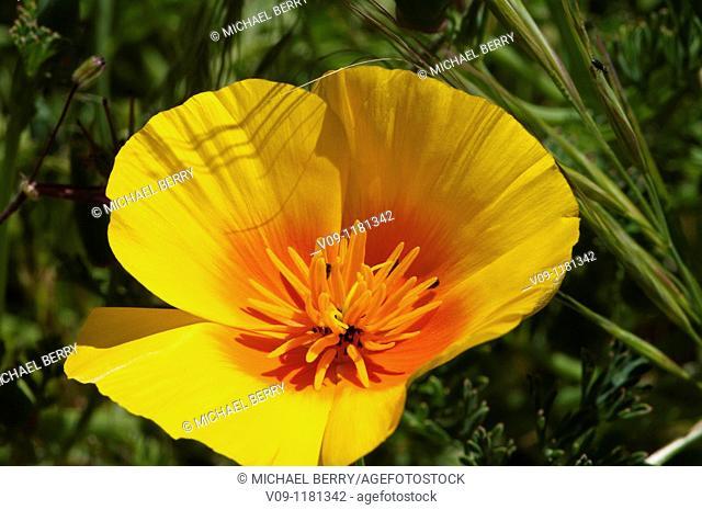 California Poppy (Eschscholzia californica), USA