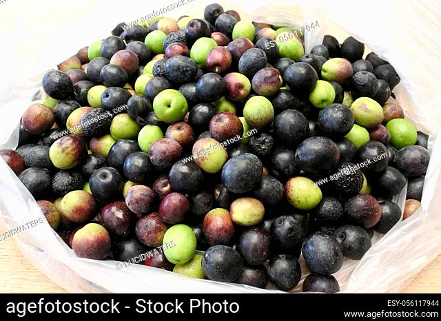 Many Manzanilla olives in a bag. Manzanillo olives are dual-purpose, used for table olives and olive oil