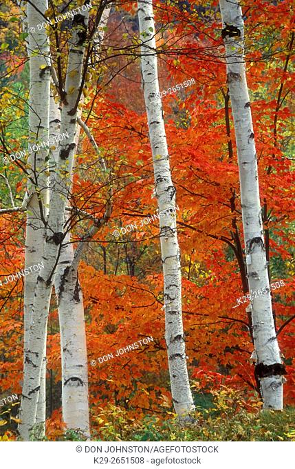 Red maple foliage with aspen tree trunks, Whitefish, Ontario, Canada