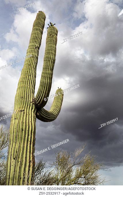 Saguaro Cactus and Monsoon clouds, Southern Arizona