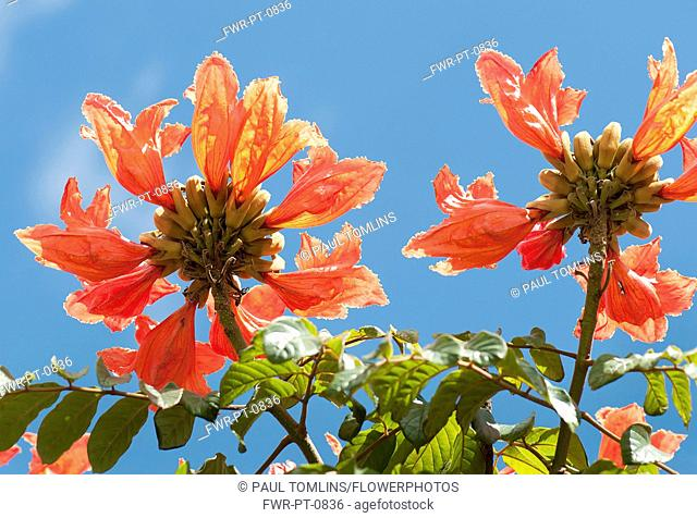 African tuliptree, Spathodea campanulata. View from below looking up at flower clusters against blue sky