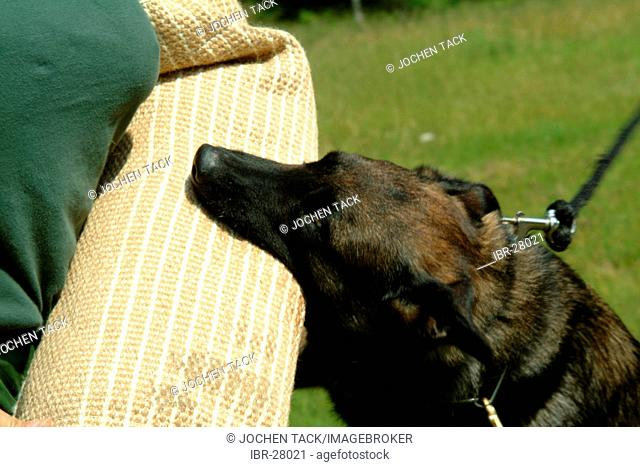 DEU, Germany, NRW: Police dog academy. Police dogs learn to stop a suspect by biting in his arm. Police dogs, K9 unit