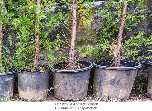 Thuja occidentalis background. Thuja occidentalis is an evergreen coniferous tree, in the cypress family Cupressaceae
