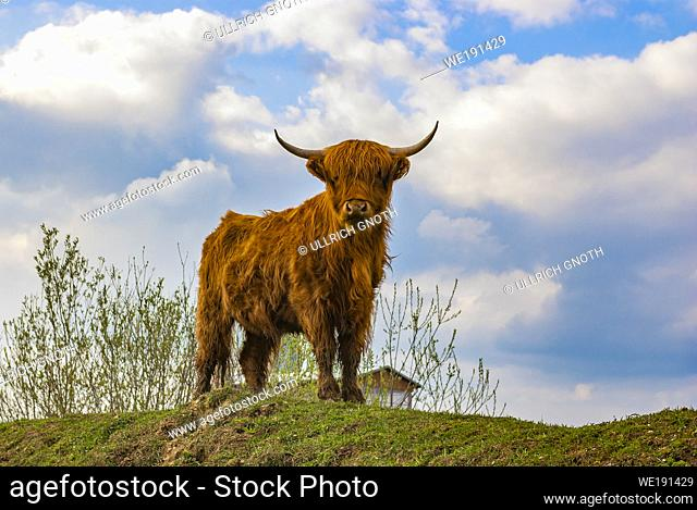 Young highland cattle look curiously