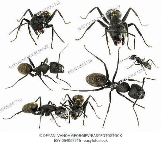 Black Ants white isolated studio shot