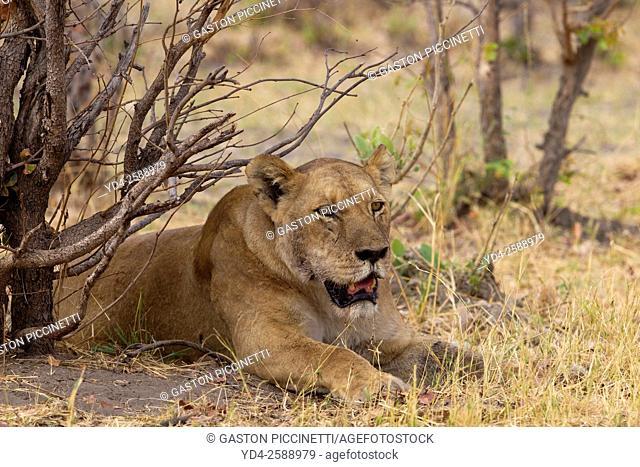 African lion (Panthera leo) - Female, Savuti, Chobe National Park, Botswana