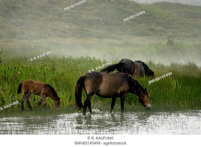 Exmoor pony (Equus przewalskii f. caballus), Free ranging herd in swamp side-face in water standing at fog on the island of Texel, Netherlands, Texel