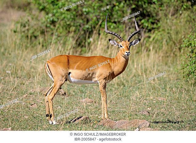 Impala (Aepyceros melampus), male in the evening light, Masai Mara National Reserve, Kenya, Africa