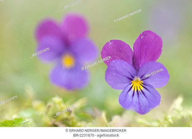 Heartsease (Viola tricolor), Haren, Emsland, Lower Saxony, Germany, Europe