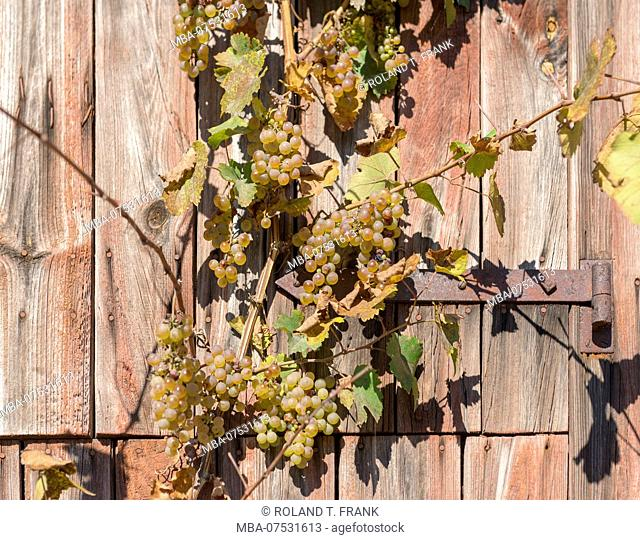 Germany, Baden-Württemberg, Kraichgau, grapevines at wooden shed near Sulzfeld