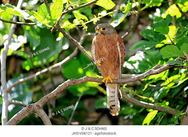 Rock Krestel, (Falco tinnunculus), adult male on tree, Western Cape, South Africa, Africa