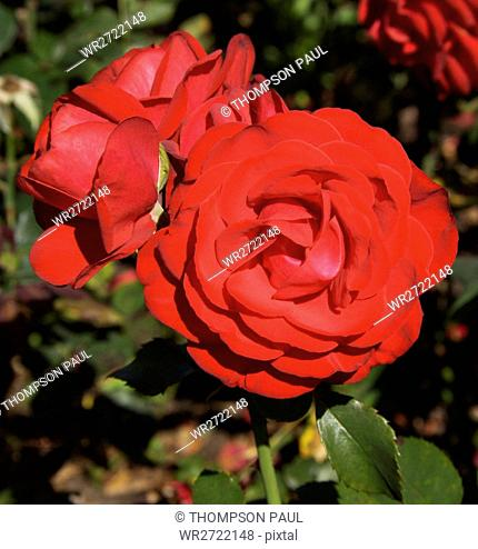 90900145, Roses, red, rose, flower, flowers, plant