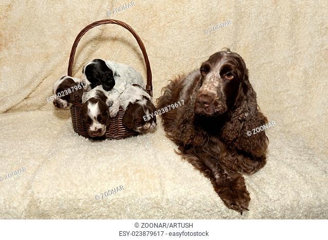 family of lying English Cocker Spaniel puppy