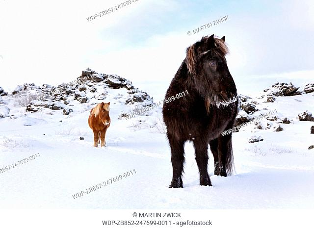 Icelandic Horse during winter near lake myvatn on Iceland with typical winter coat. This traditional icelandic breed traces its origin back to the horses of the...