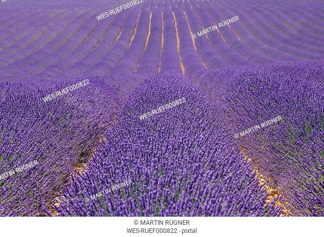France, View of lavender field