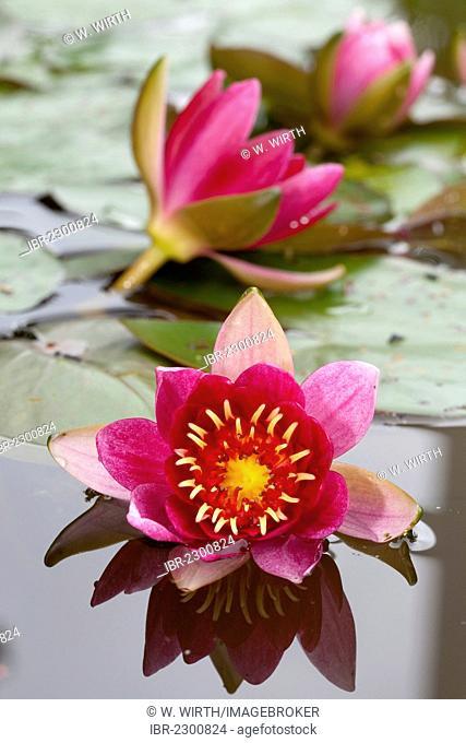 Water Lily (Nymphaea sp.), Westphalia Park, Dortmund, Ruhr Area, North Rhine-Westphalia, Germany, Europe