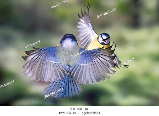 blue tit (Parus caeruleus, Cyanistes caeruleus), blue tits meet in flight, Germany, North Rhine-Westphalia