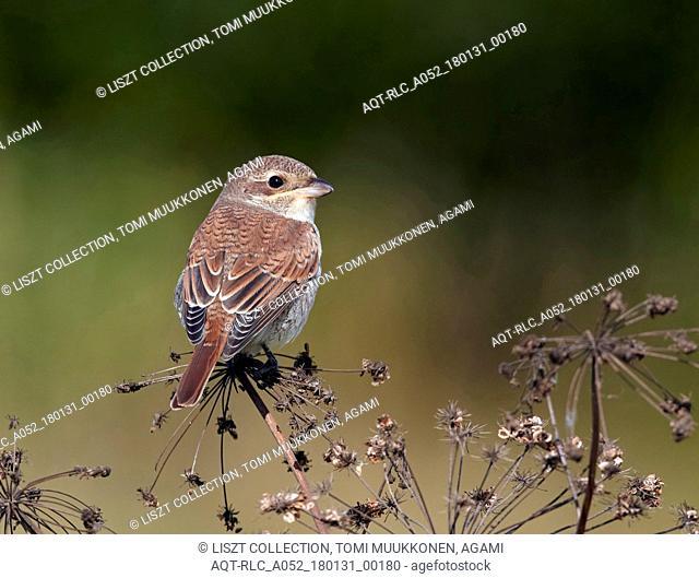 Red-backed Shrike, Lanius collurio
