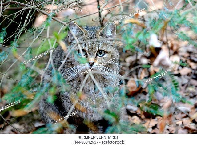 Local animals, Endemically, Felis silvestris, predators, predatory game, animals, W, game, wild cats, wildcat, wildcats, wildcats in the spring, wild animals