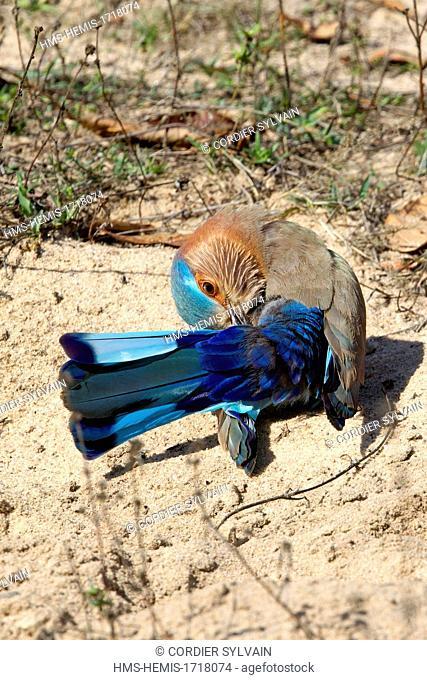 India, Madhya Pradesh state, Bandhavgarh National Park, Indian Roller (Coracias benghalensis)