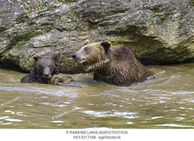 Brown bear, Ursus arctos, female with cub in pond, Germany