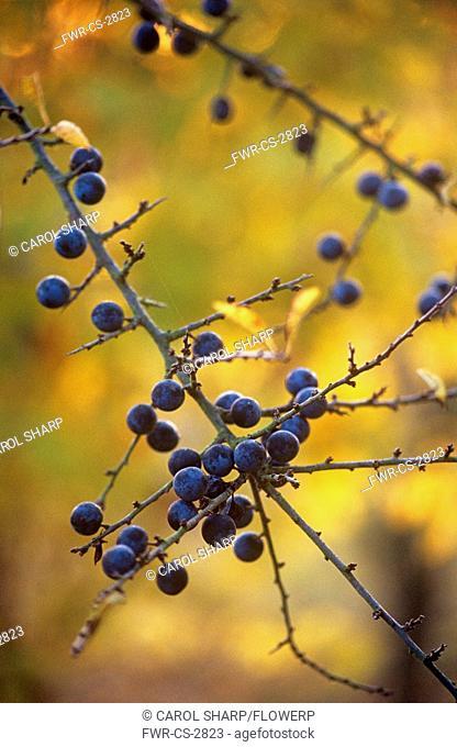 Prunus spinosa, Blackthorn, Sloe