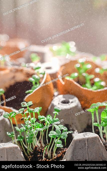 Microgreen arugula sprouts into eggs shell. Raw sprouts, microgreens, healthy eating concept. superfood grown at home