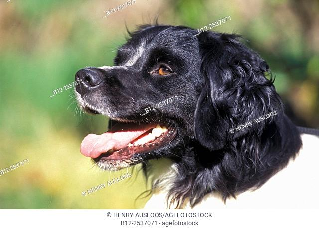 Brittany - Portrait - Canis familiaris