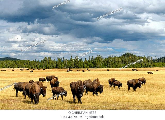 North America, American, USA, Rocky Mountains, Wyoming, Yellowstone National Park, UNESCO, World Heritage, Bison herd