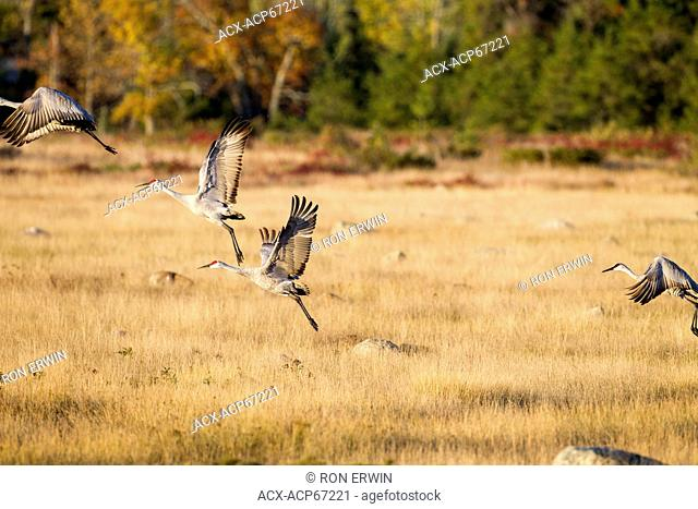 Sandhill Cranes (Crus canadensis) lift off into flight from a grasslands on Barrie Island, Manitoulin Island, Ontario, Canada