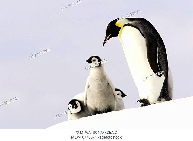 Emperor Penguin - adult and three chicks (Aptenodytes forsteri)
