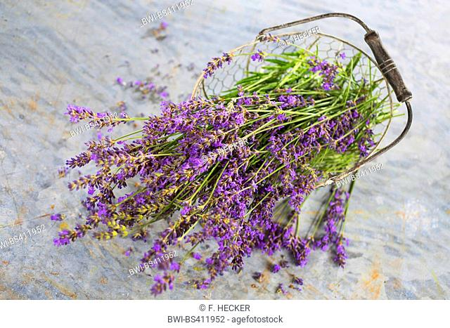 lavender (Lavandula angustifolia), basket with dried lavender, Germany