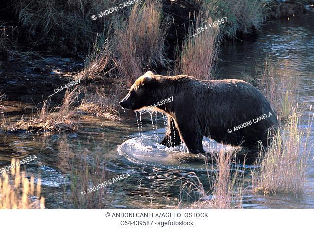 Grizzly bear (Ursus arctos). Katmai National Park. Alaska. USA