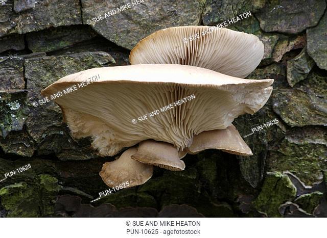 Oyster mushrooms pleurotus ostreatus growing on a dead tree, Lancashire