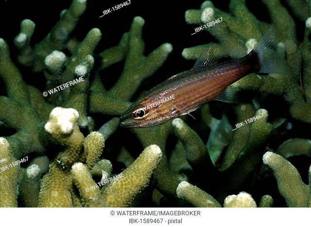 Wolf Cardinalfish (Cheilodipterus artus), Palau, Micronesia, Pacific