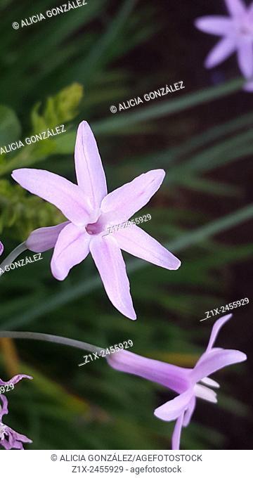 Allium flower close up. Caracas, Venezuela