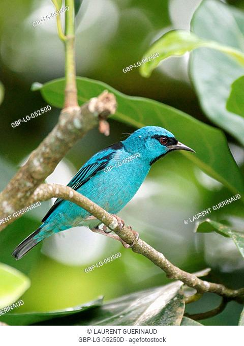 Bird, Male Leave-blue, North Coast, Camburi, São Paulo, Brazil